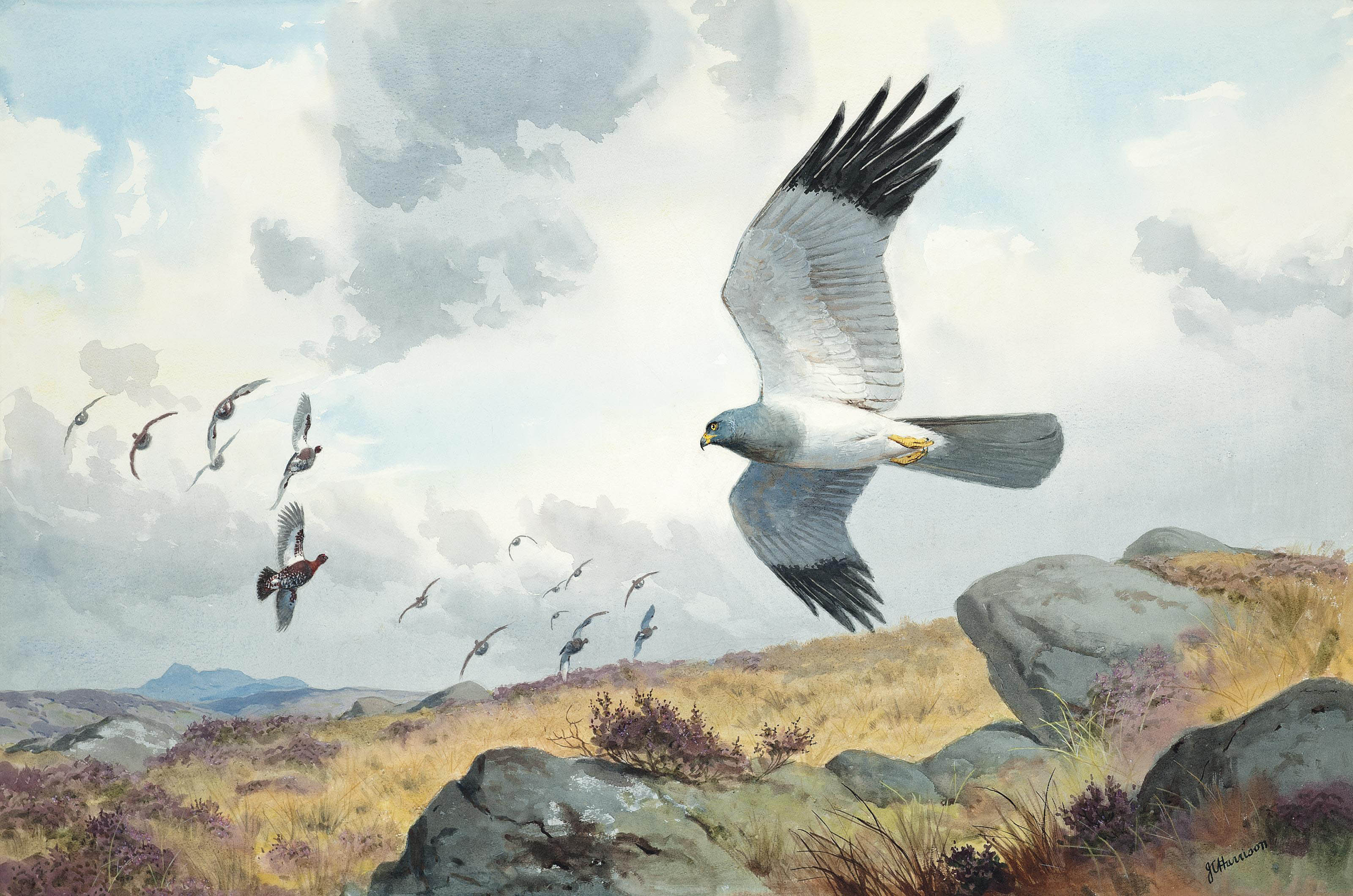 Hen harrier putting up the coveys
