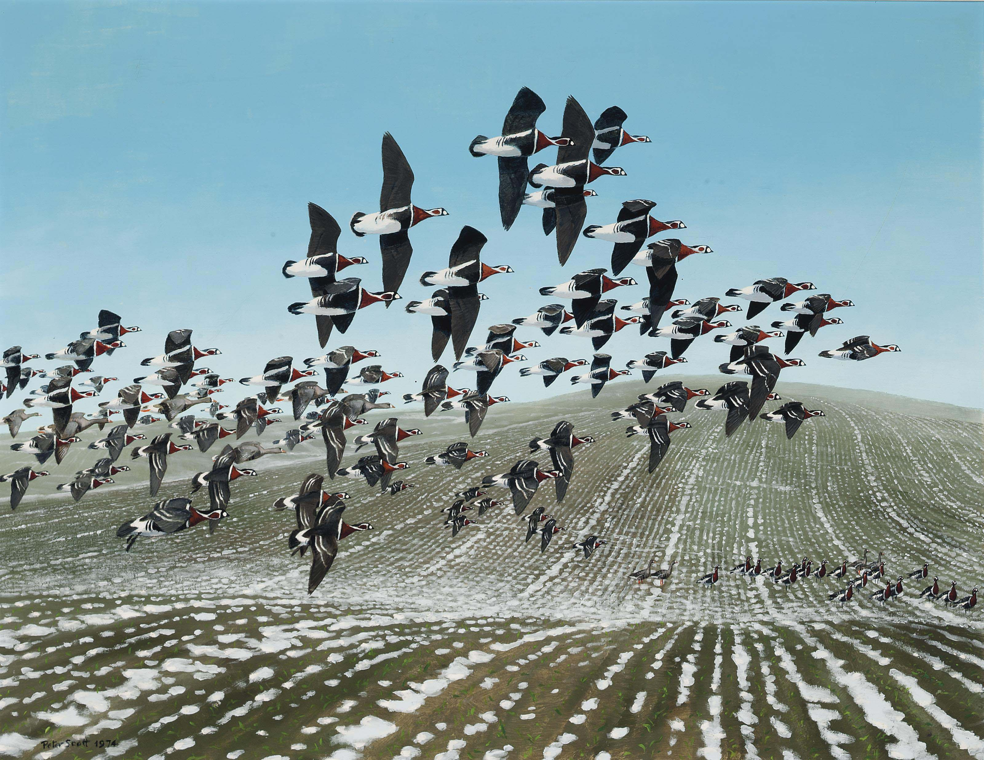 Red breasted geese flying over a ploughed field