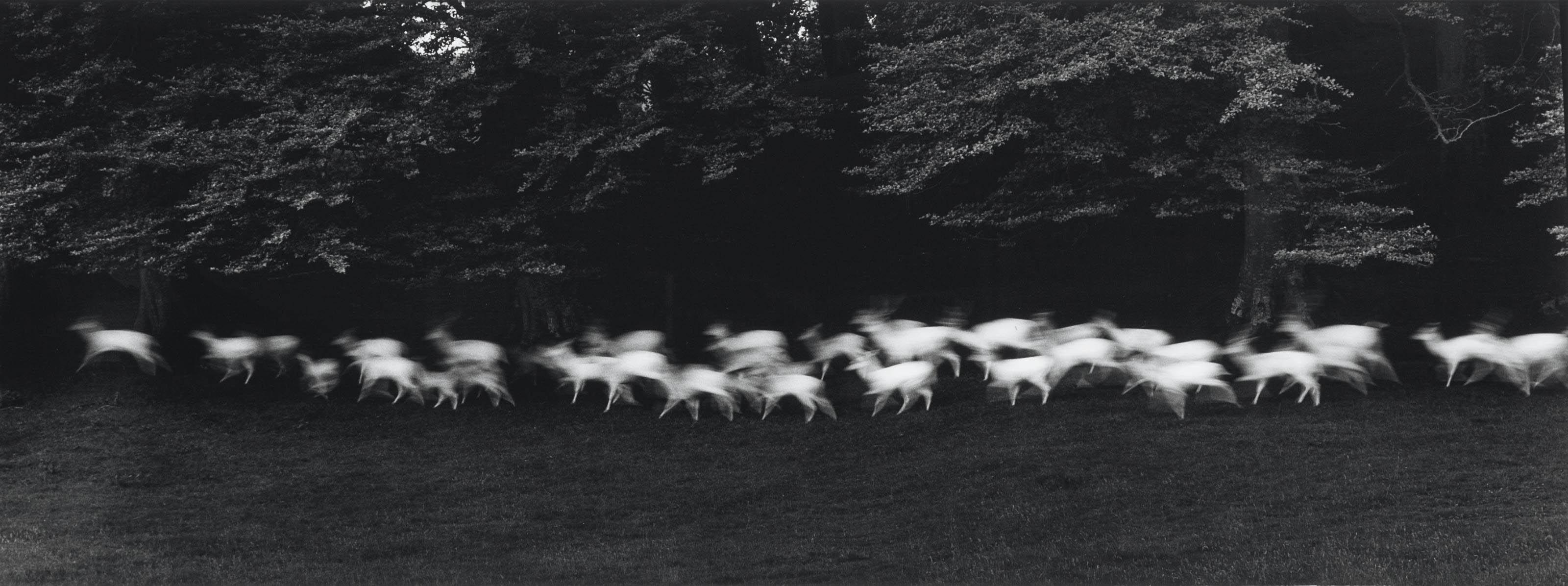 White Deer, Ireland, 1967