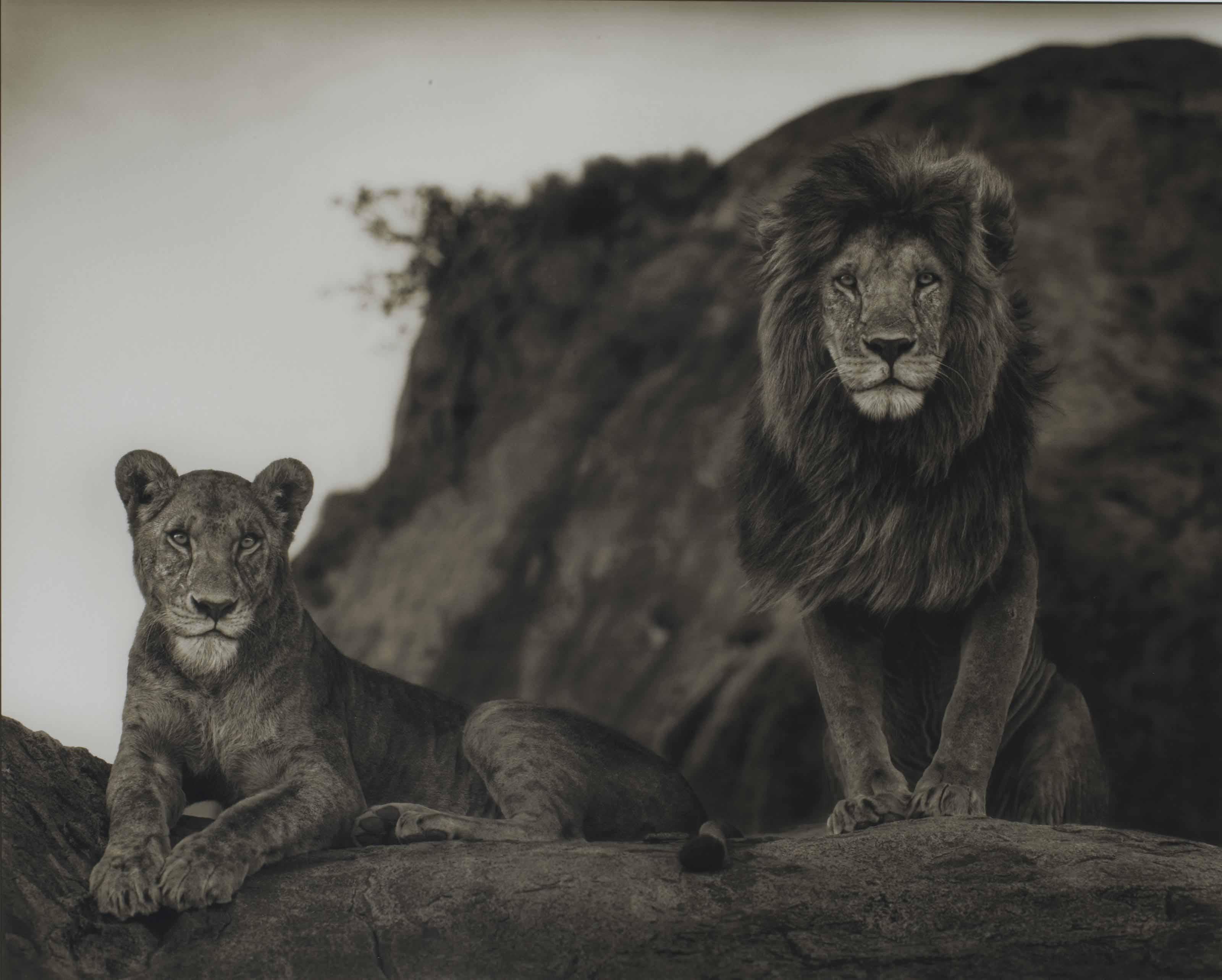 Lion Couple, Serengeti 2010