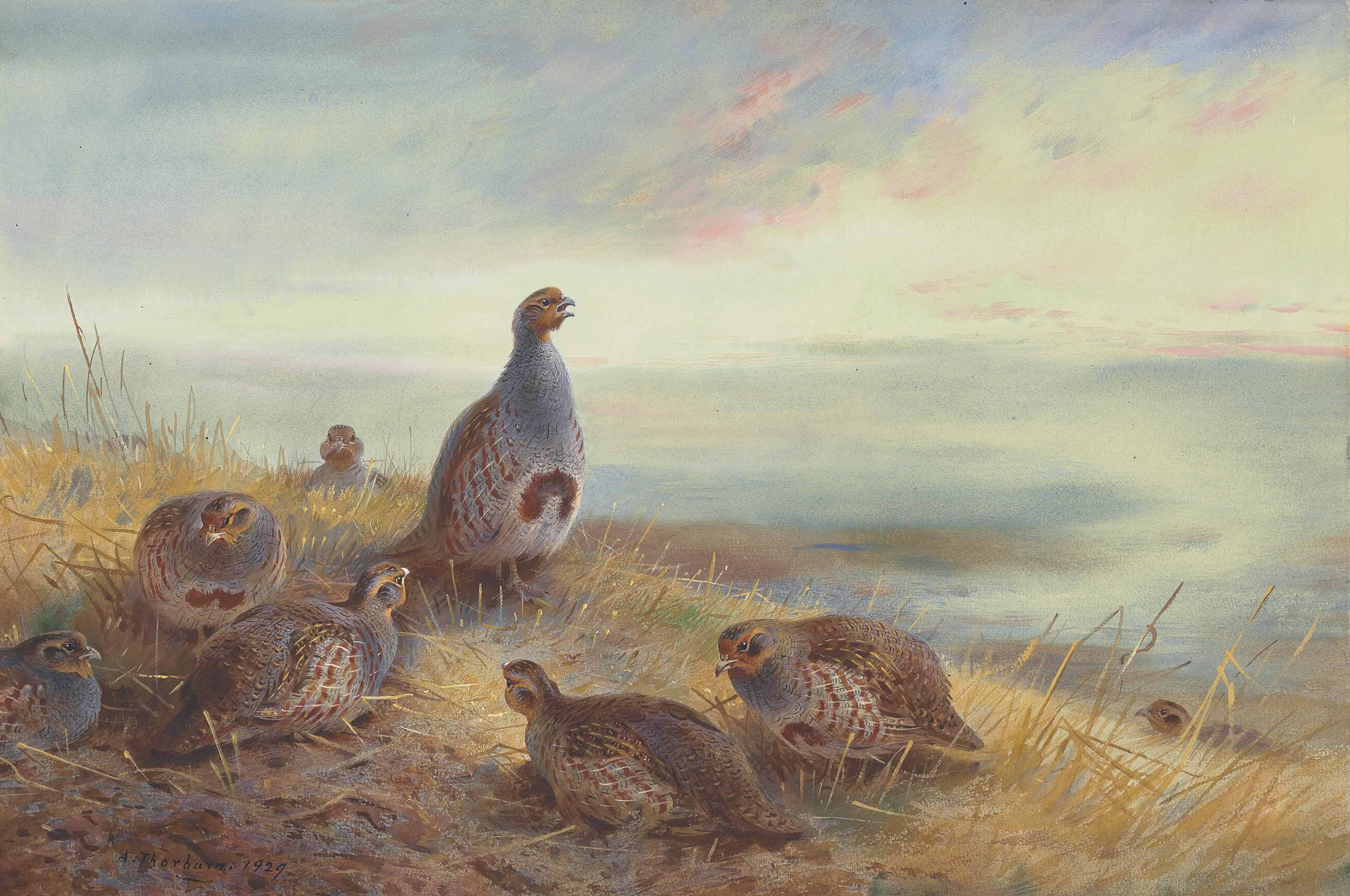 The covey at sunrise, partridge