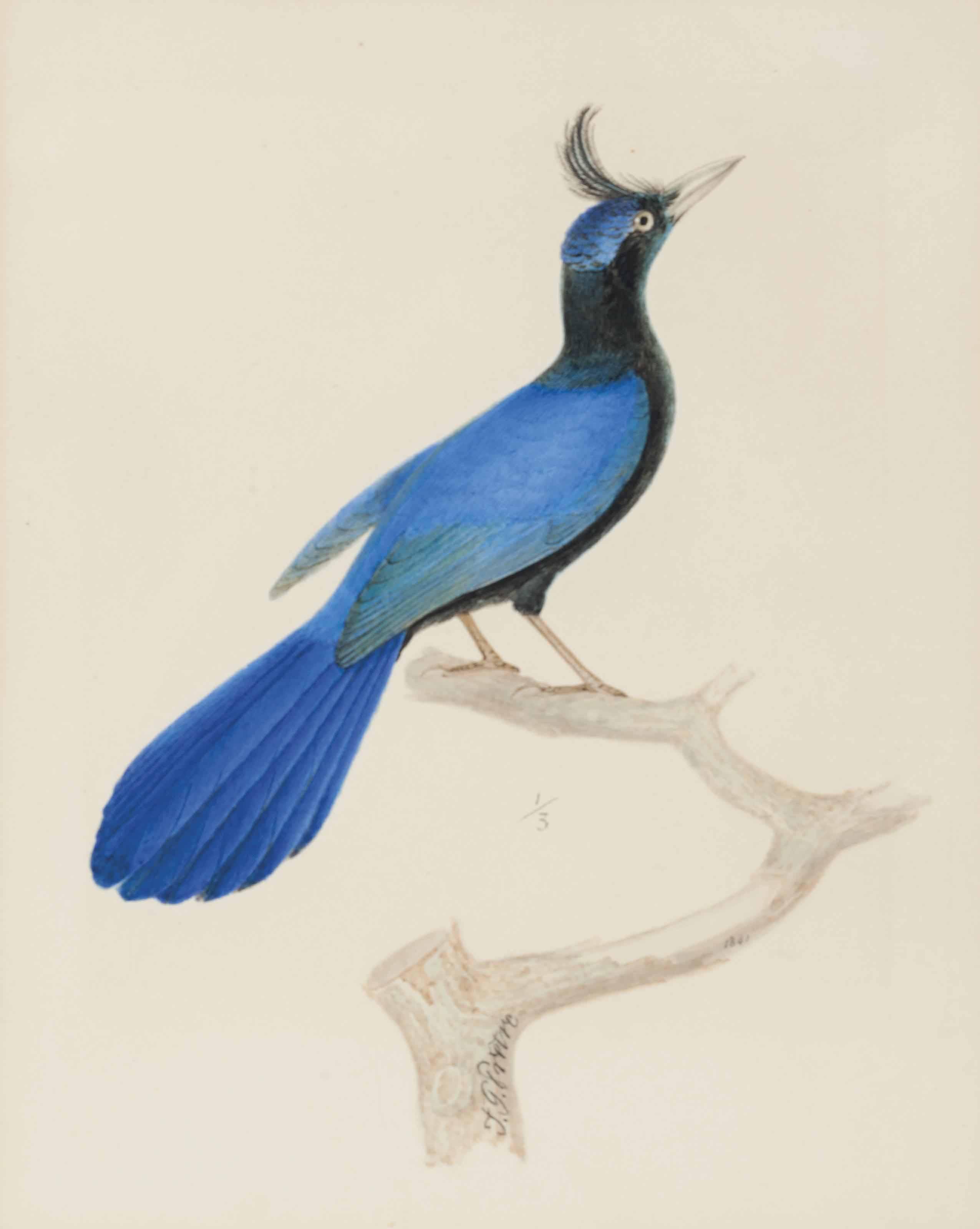 A blue bird of paradise