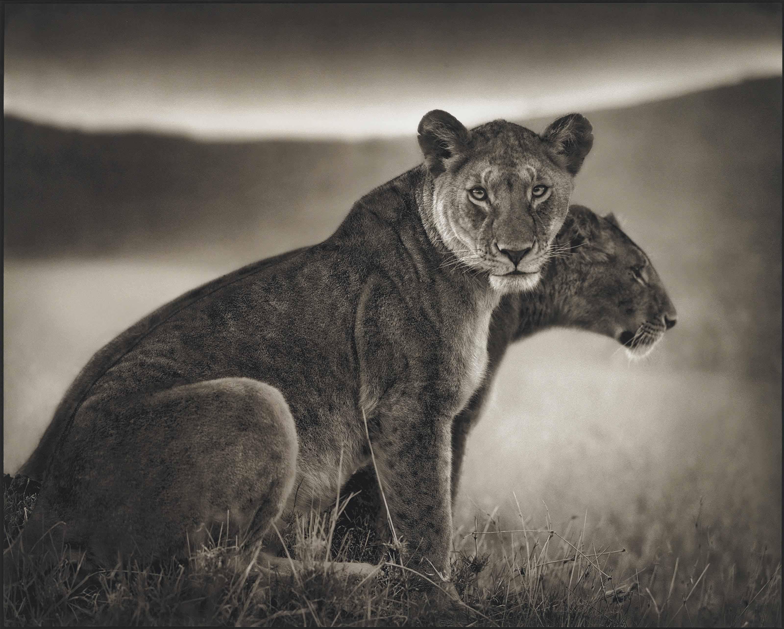 Seated Lionness, Serengeti, 2002
