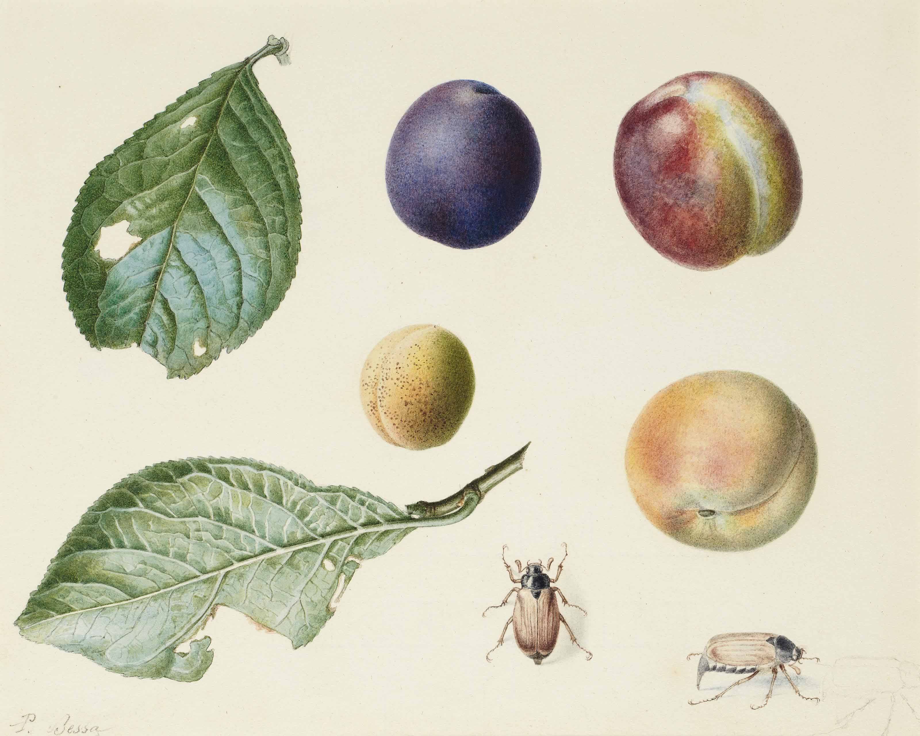 Two plum tree leaves, four different types of plums, two beetles, with a subsidiary study of a third one