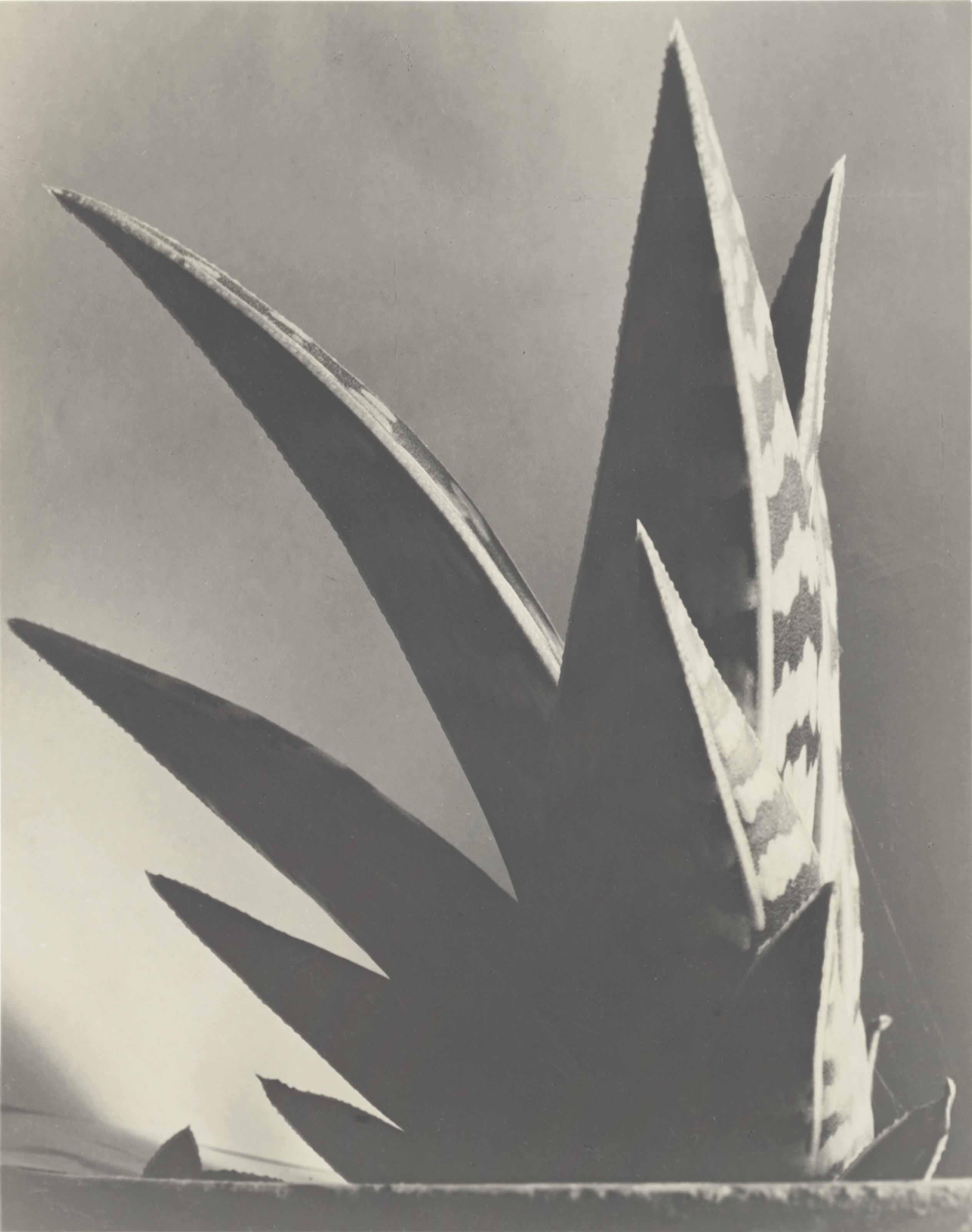 Aloe, 1925