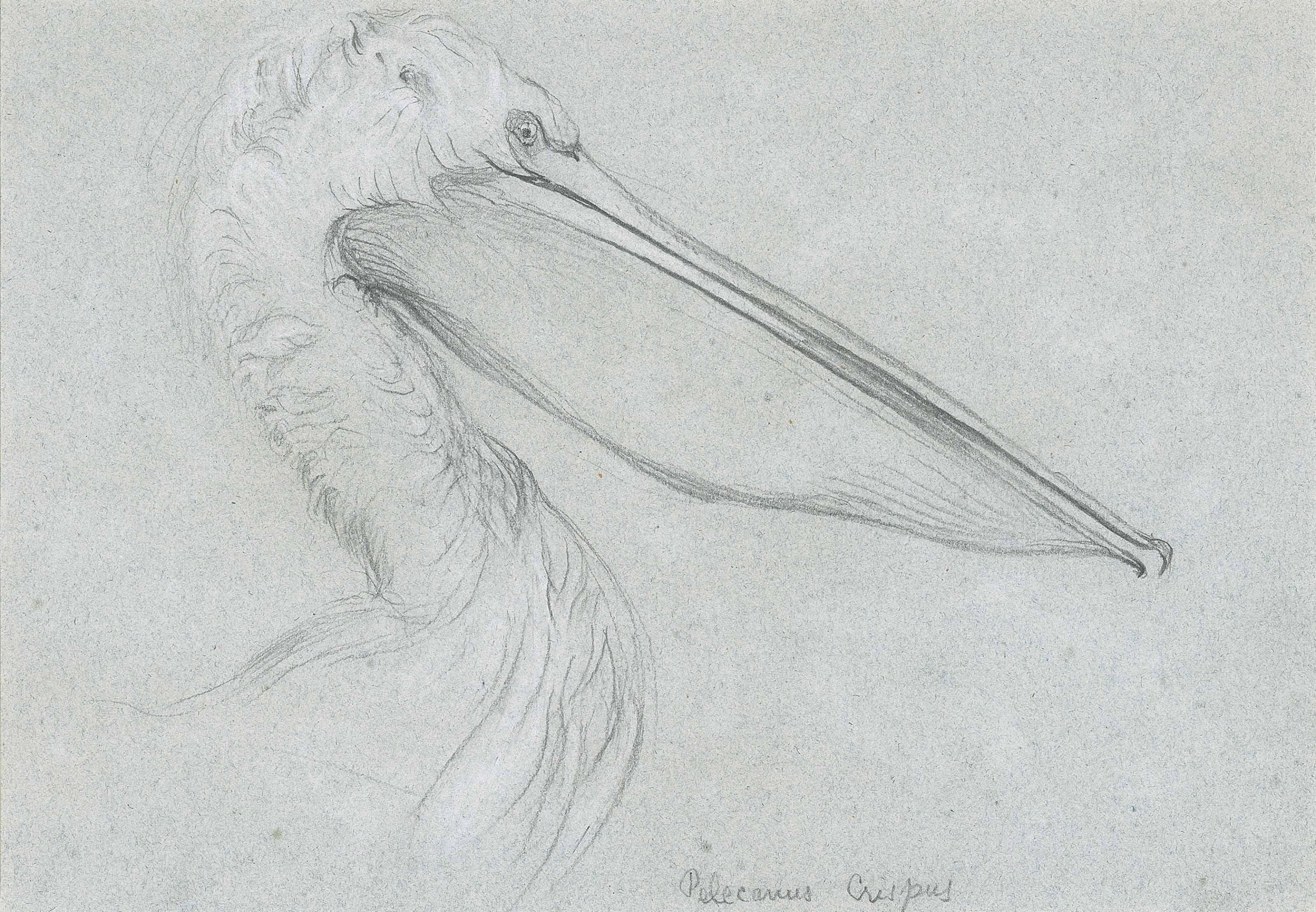 A Dalmatian Pelican
