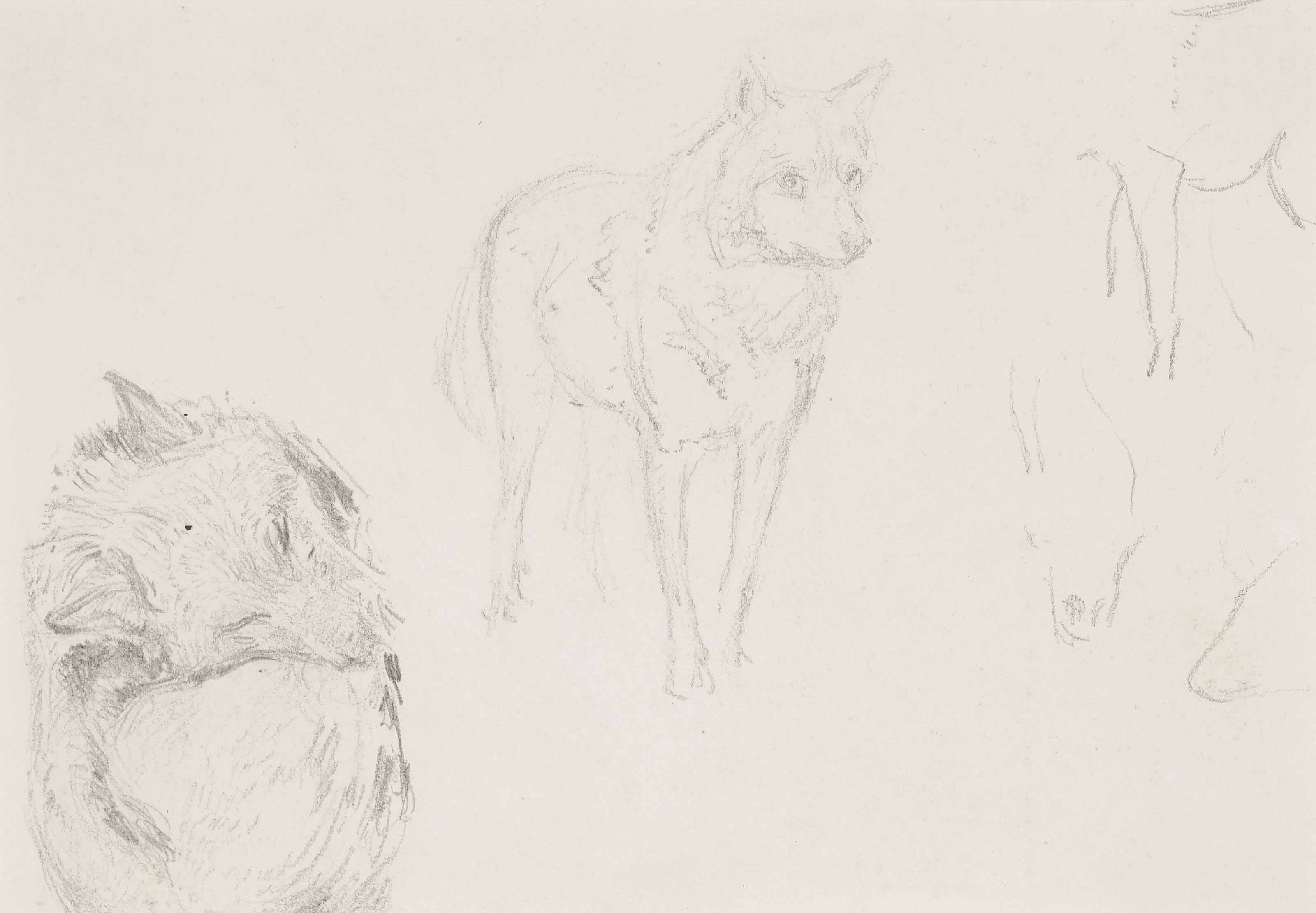Study of wolves