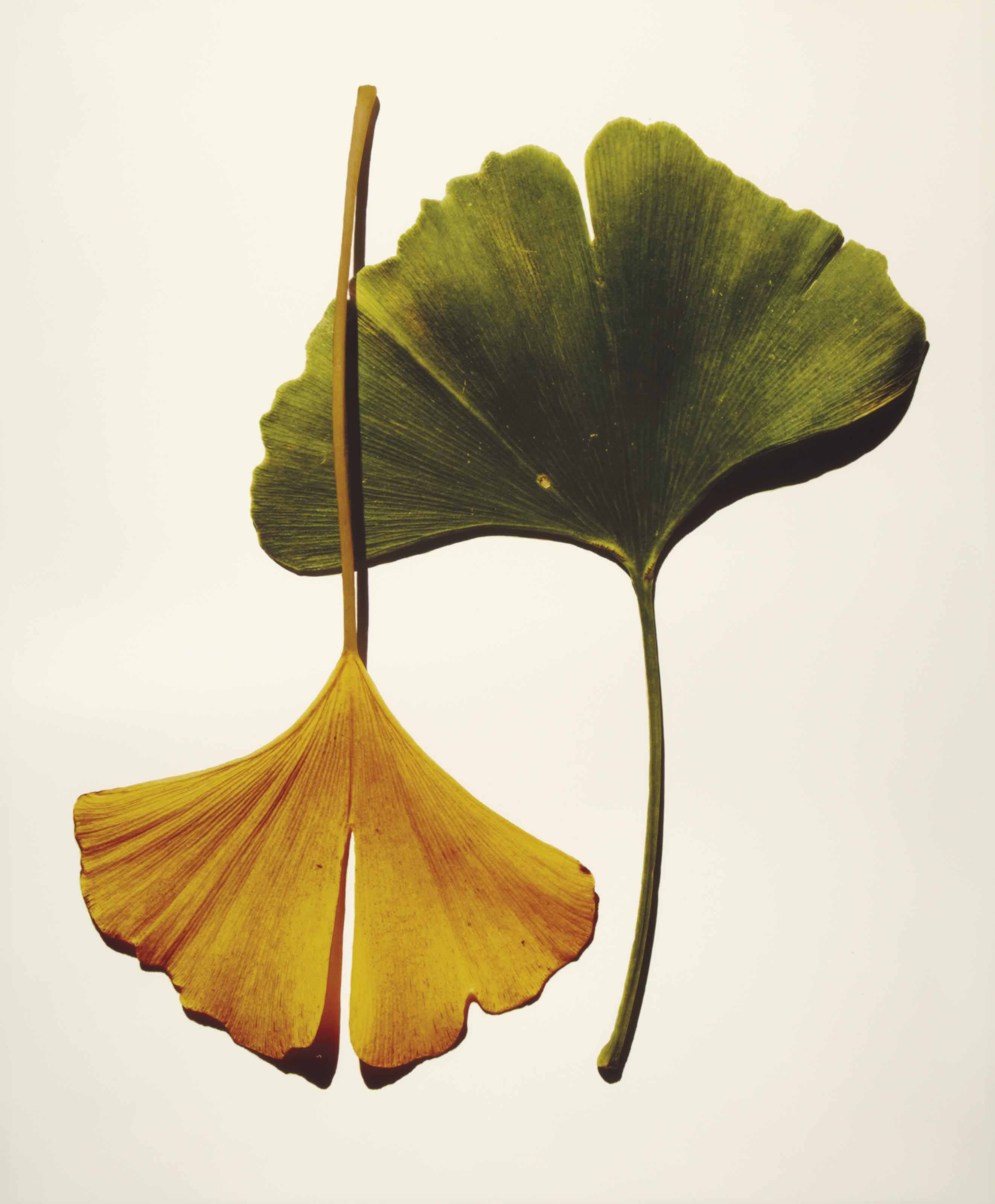 Gingko Leaves, New York, 1990