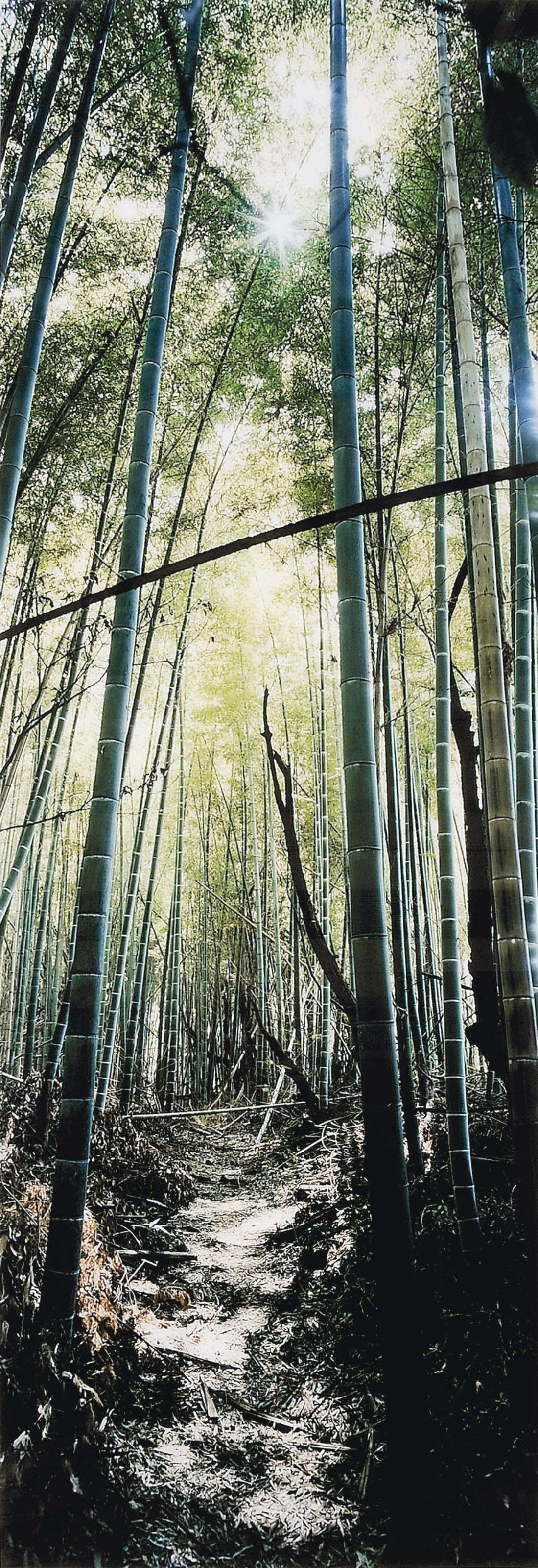 Bamboo Forest, Nara, Japon, 2000