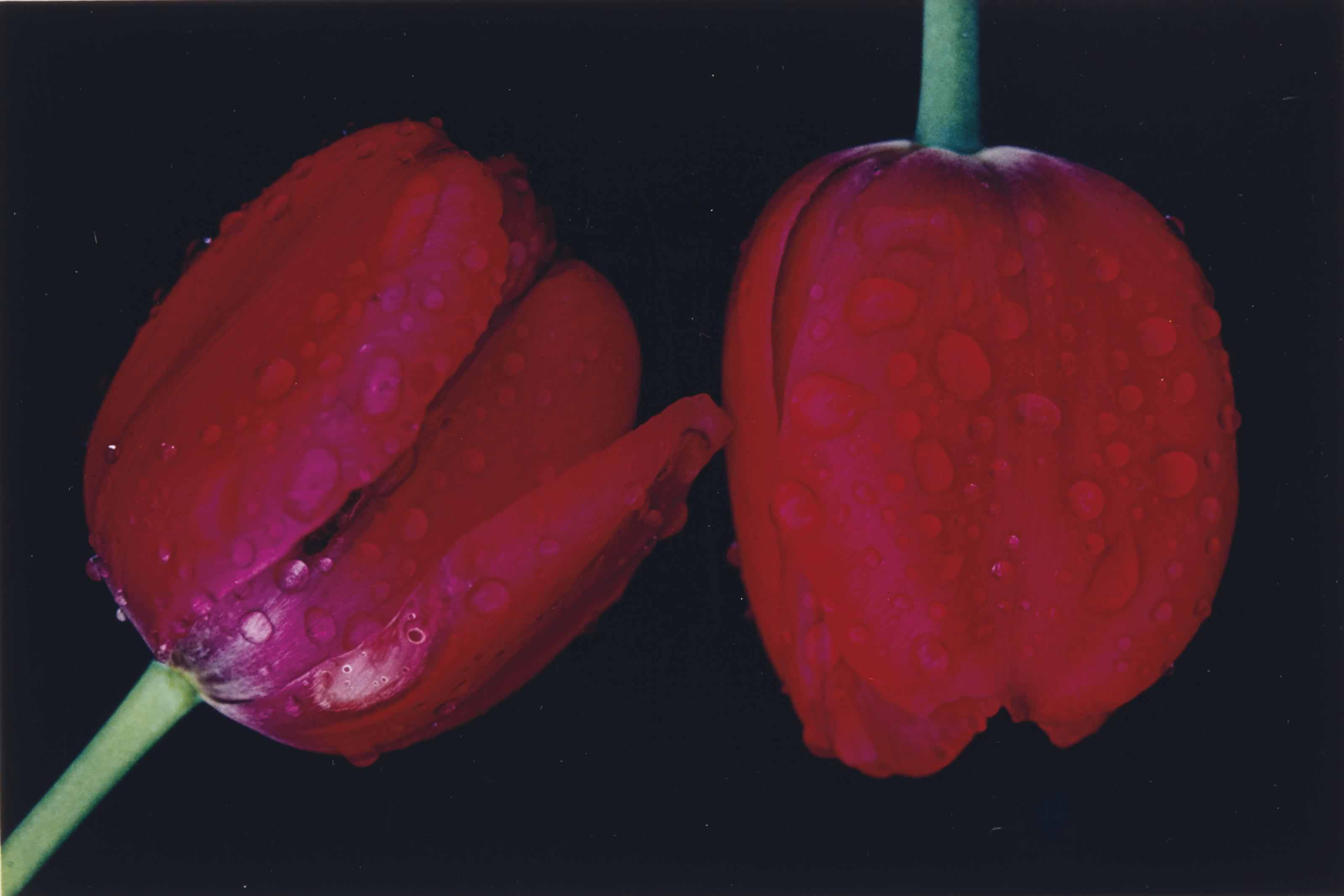 Red Tulips, Japan, 1980