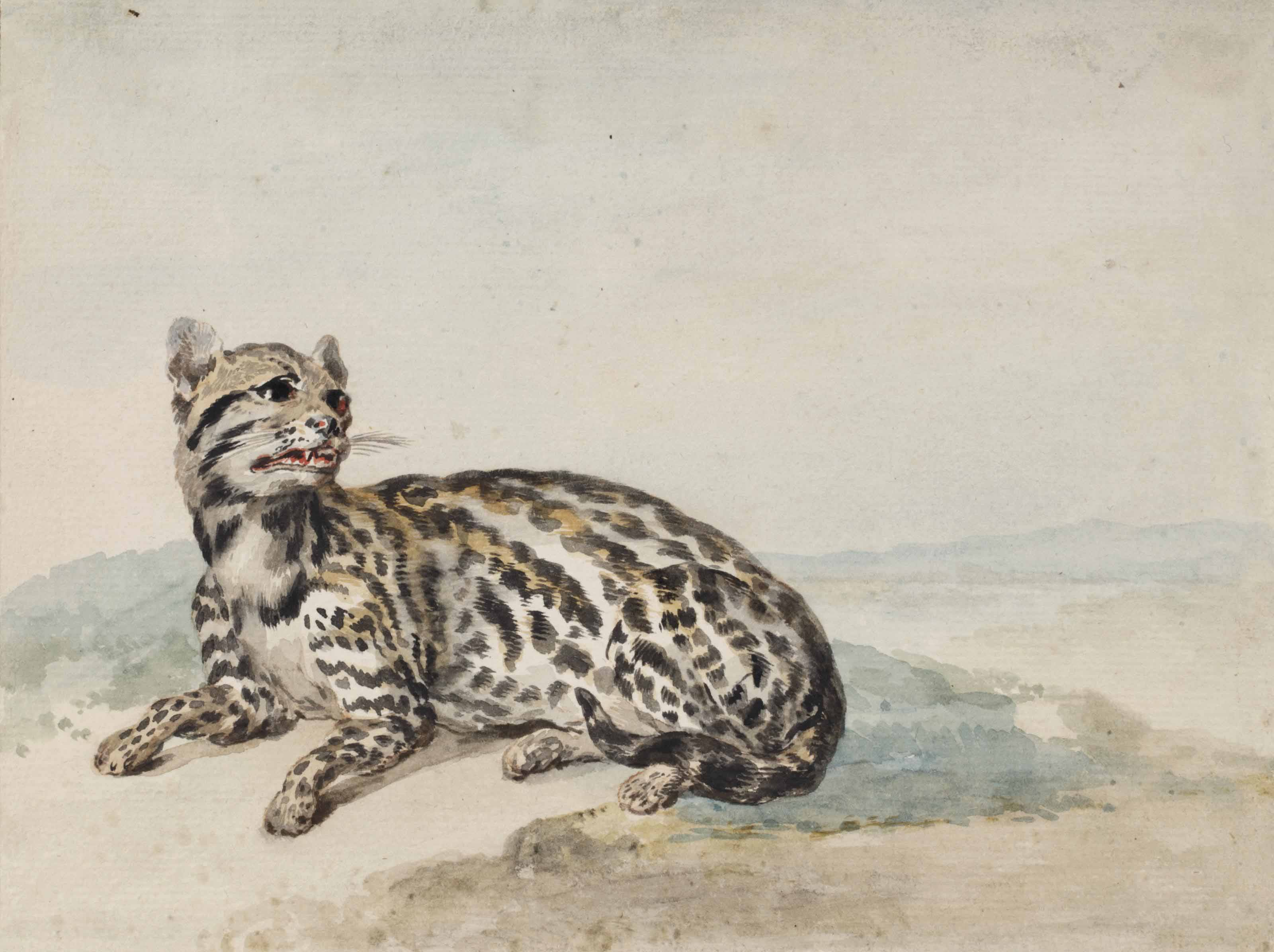 An oncilla from Surinam (Leopardus tigrinus)