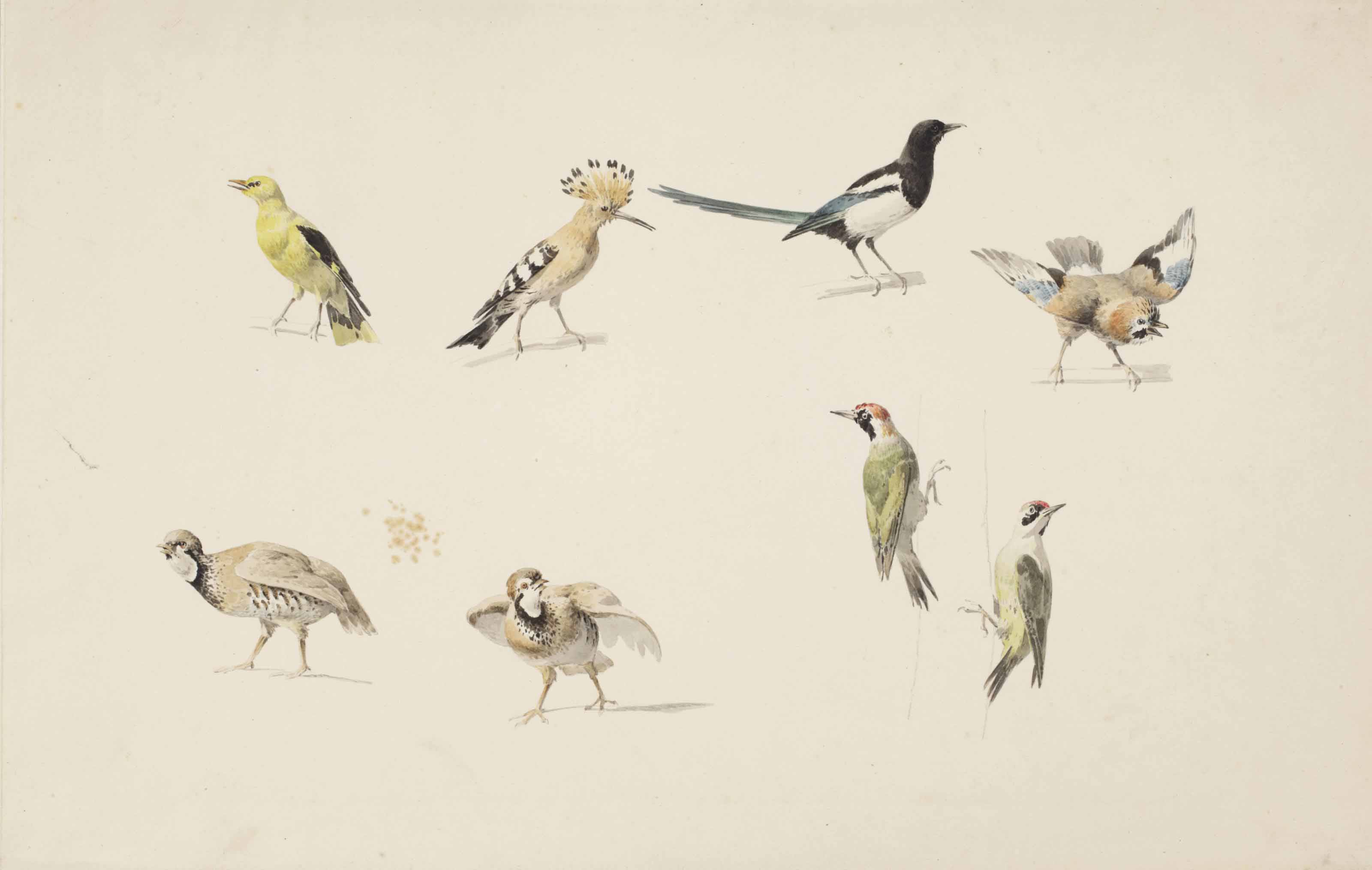 Studies of birds: a golden oriole, a hoopoe, a magpie, a jay, two red-legged partridge and two green woodpeckers