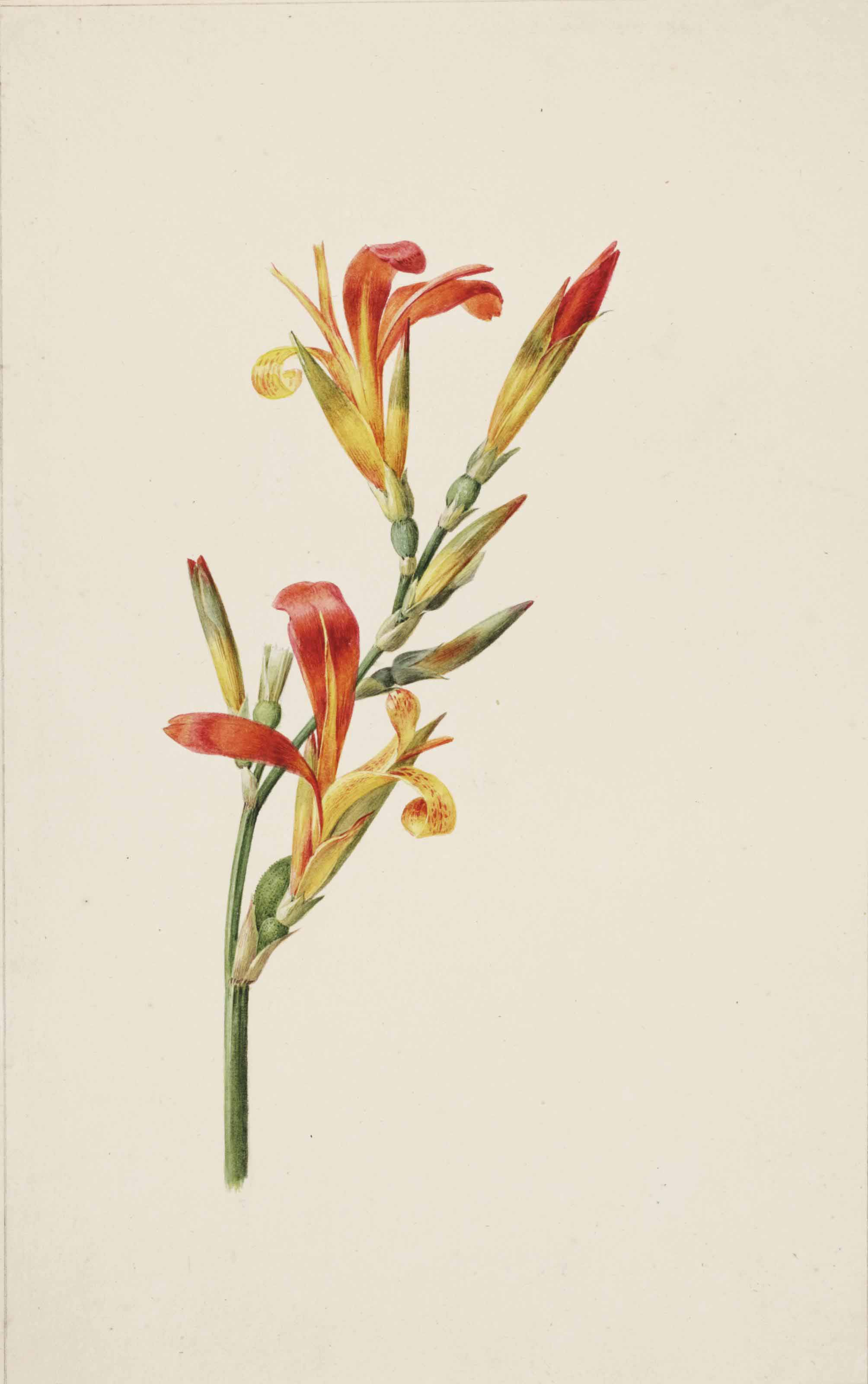 Studies of Canna Indica; and the blooms of two other flowers (pl. 16)