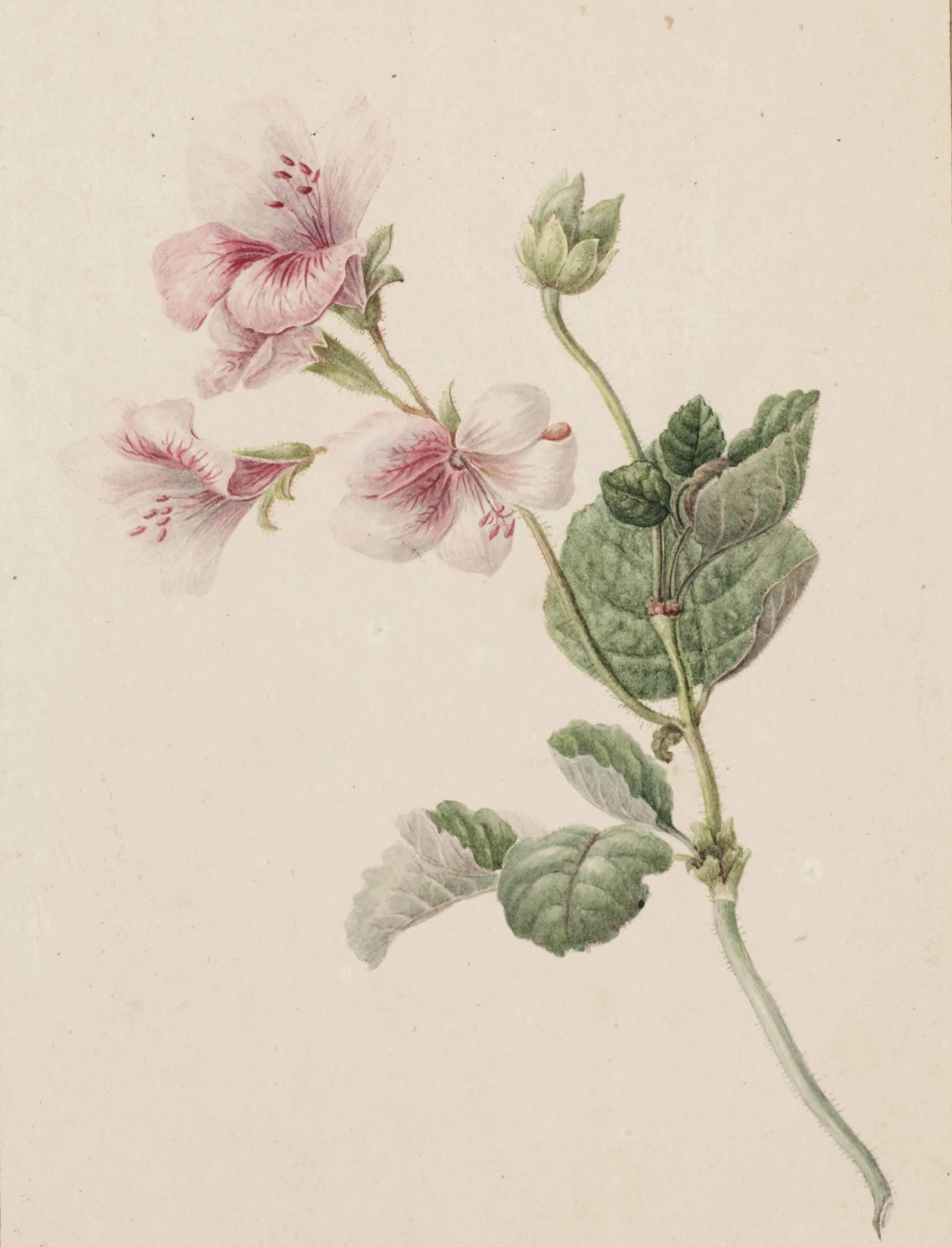 A spray of pink flowers (pelargonium)