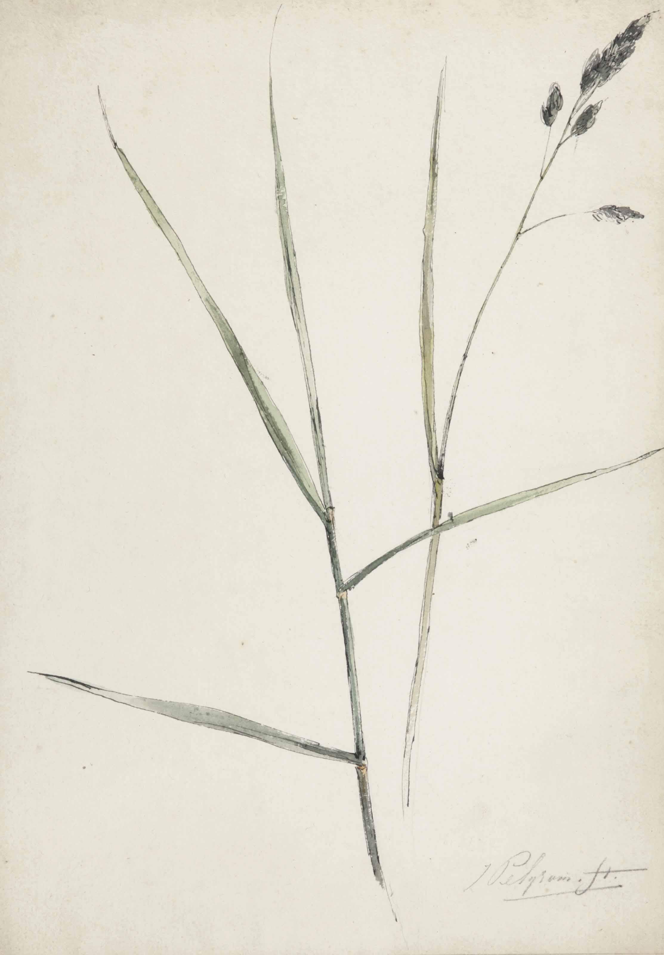 Study of grass or sedge