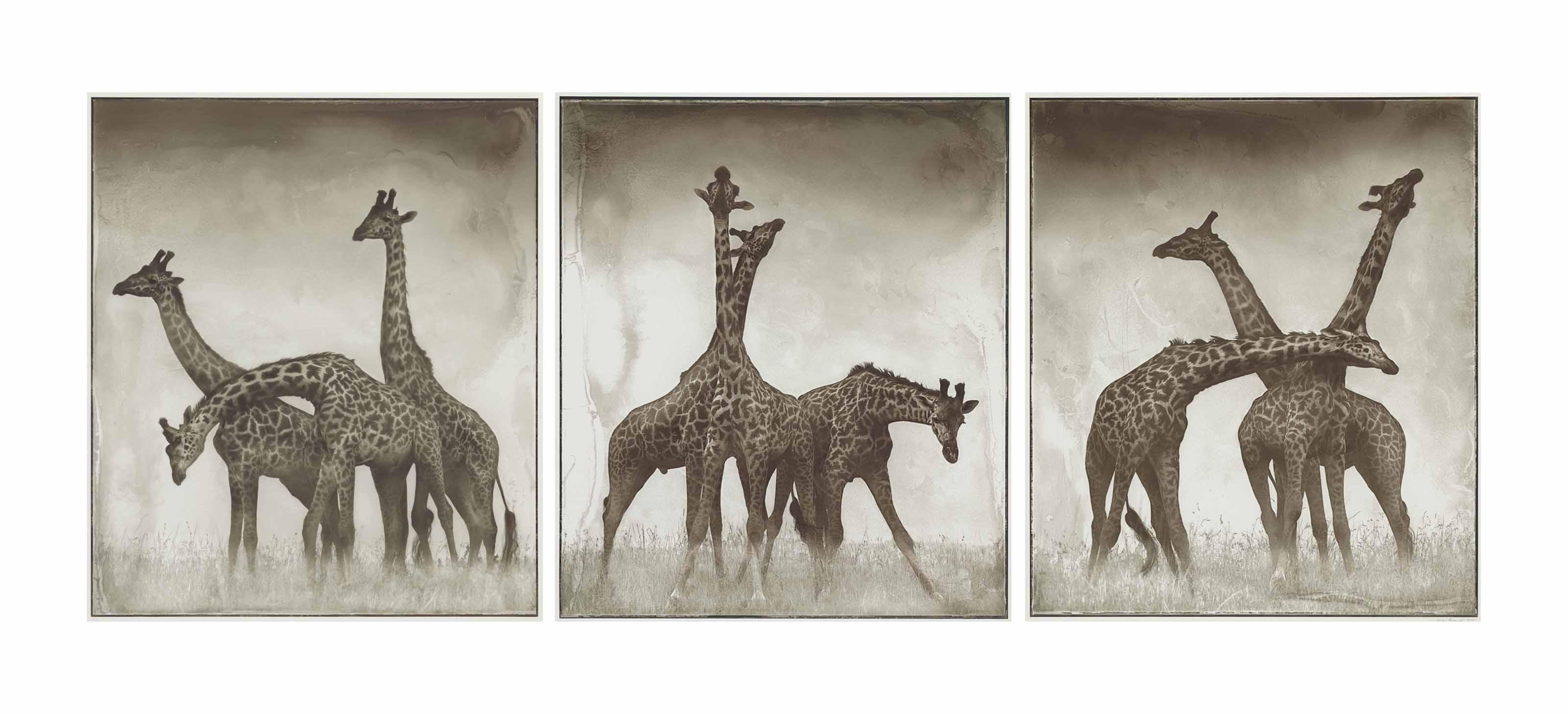 Giraffe Triptych, Maasai Mara, 2005