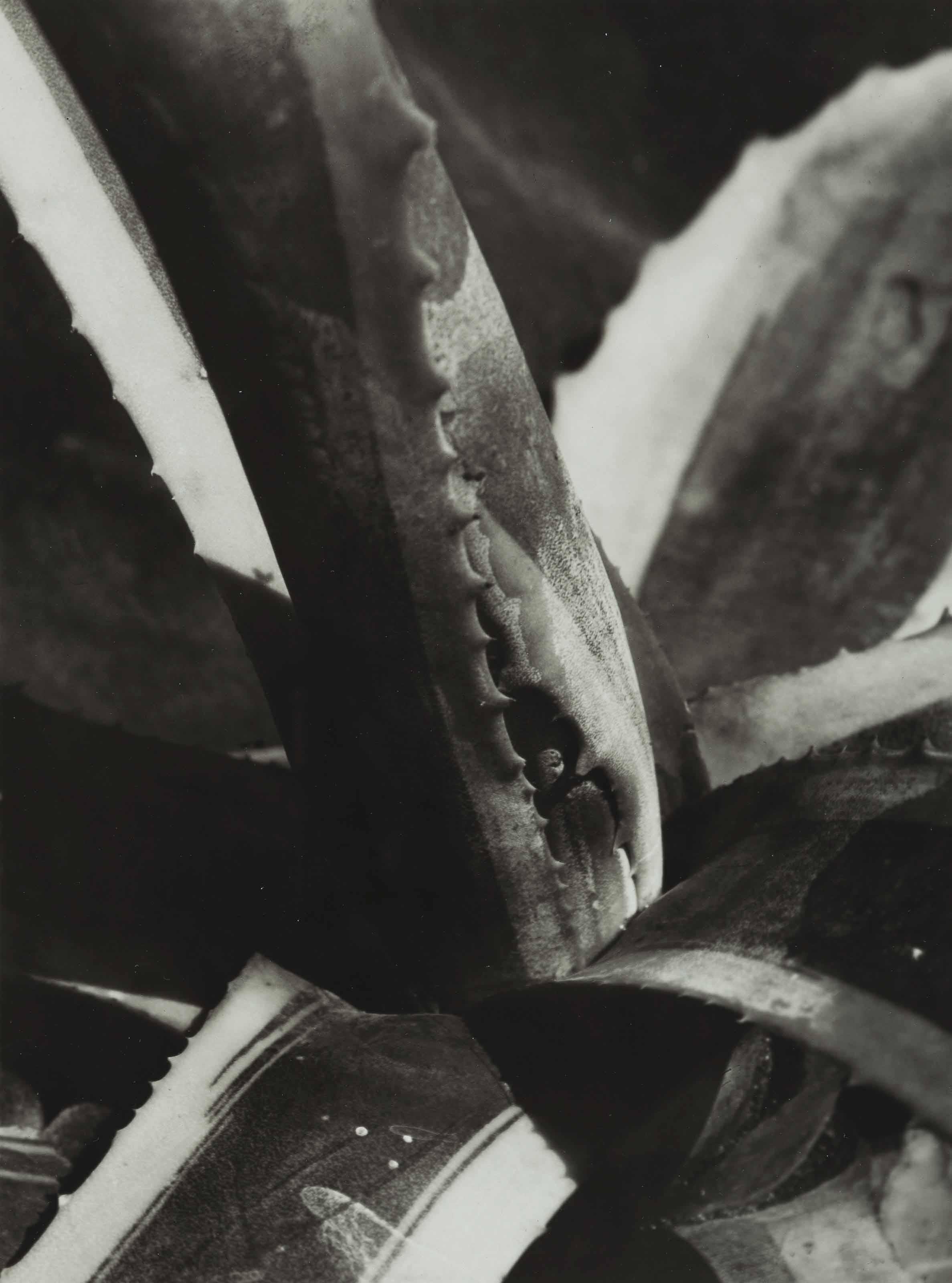Agave Cactus, c. 1928
