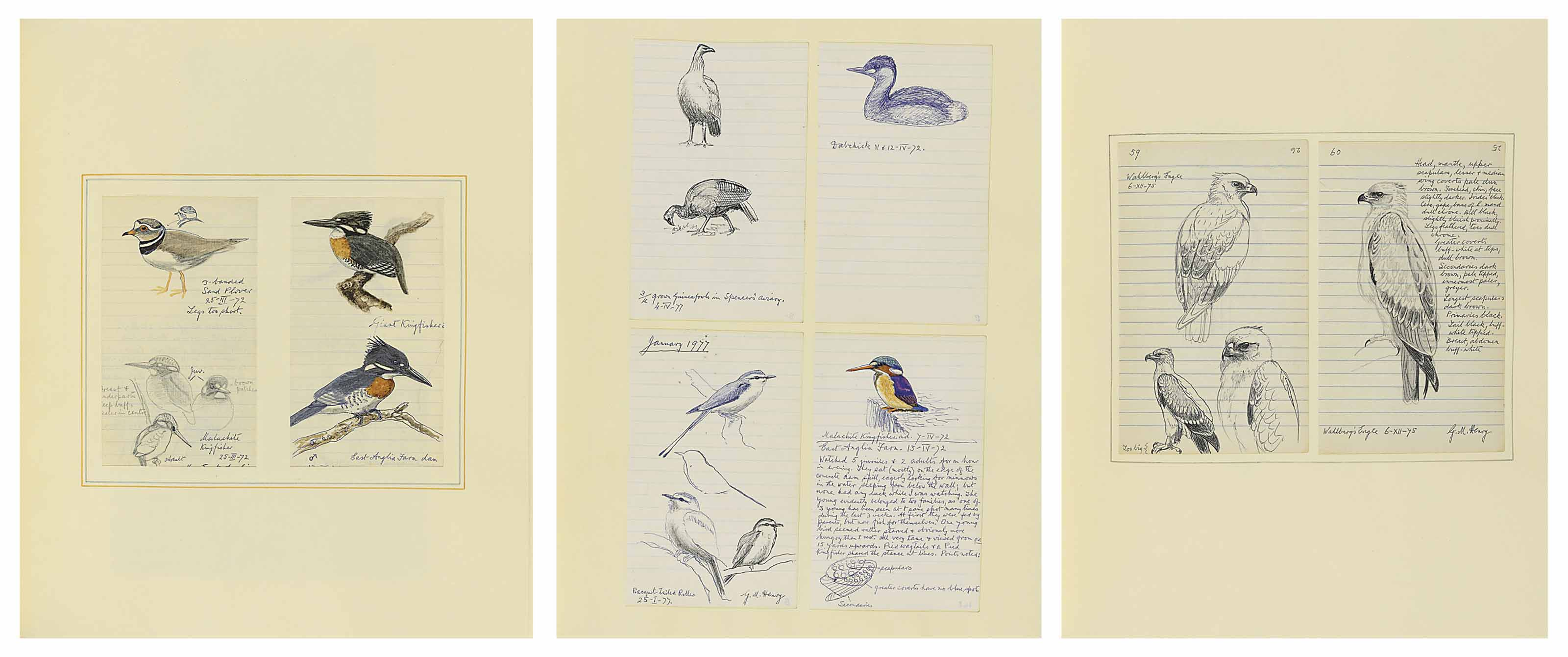 Collected field studies of English and Rhodesian birds, including: racket-tailed roller, black eagle, steppe buzzard, malachite kingfisher, dabchick, African scops owl and crested barbet