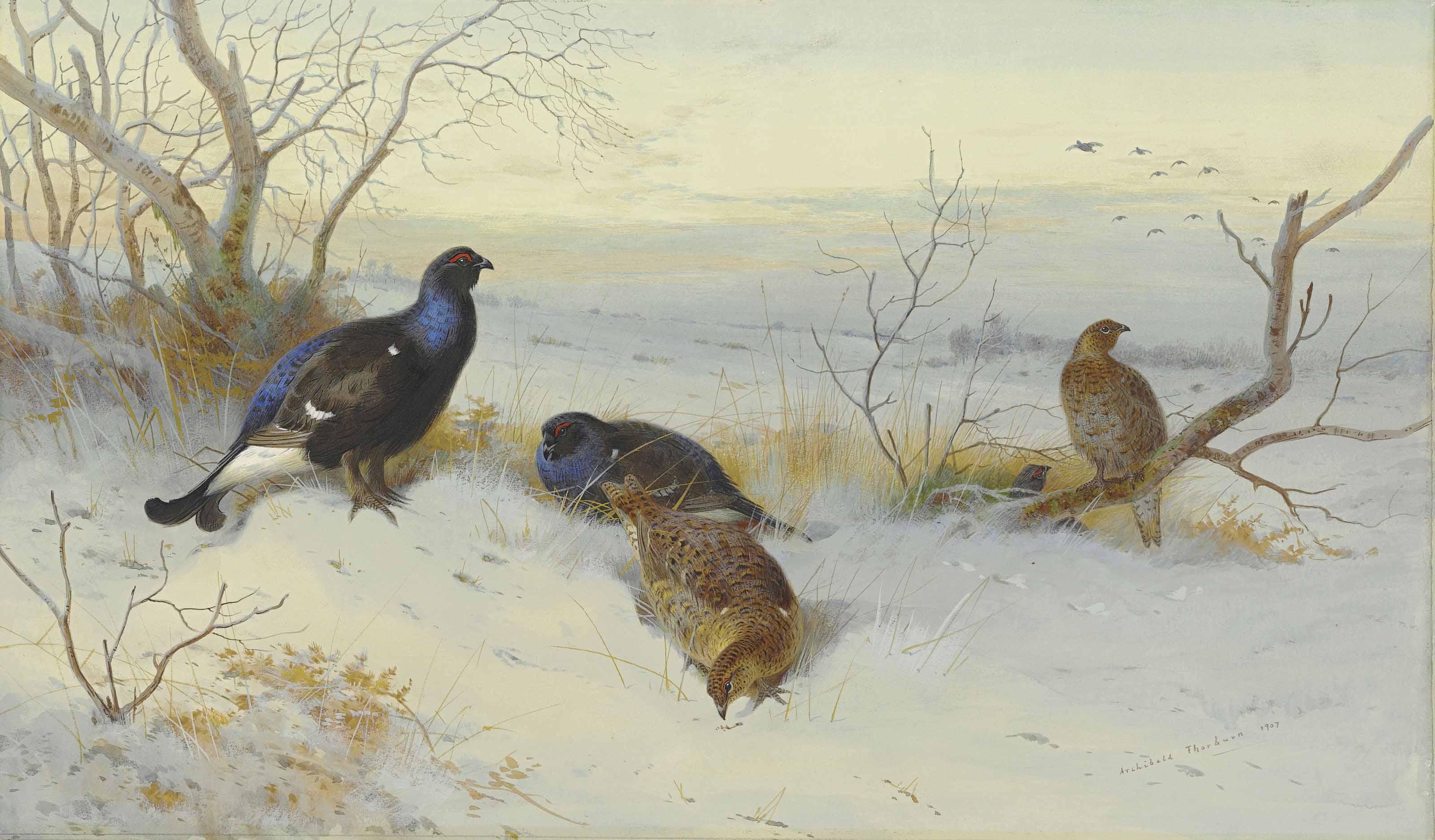 Blackgame in snow, evening