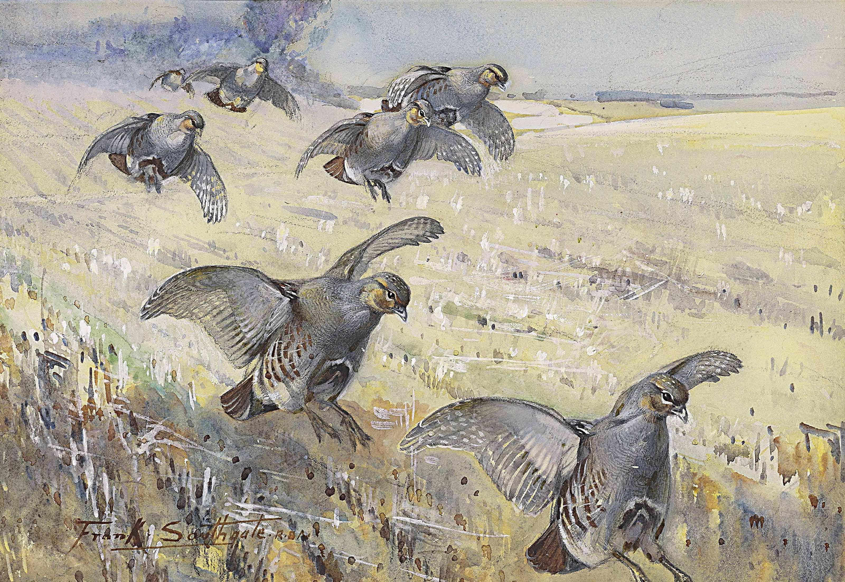 Partridge alighting on a corn field