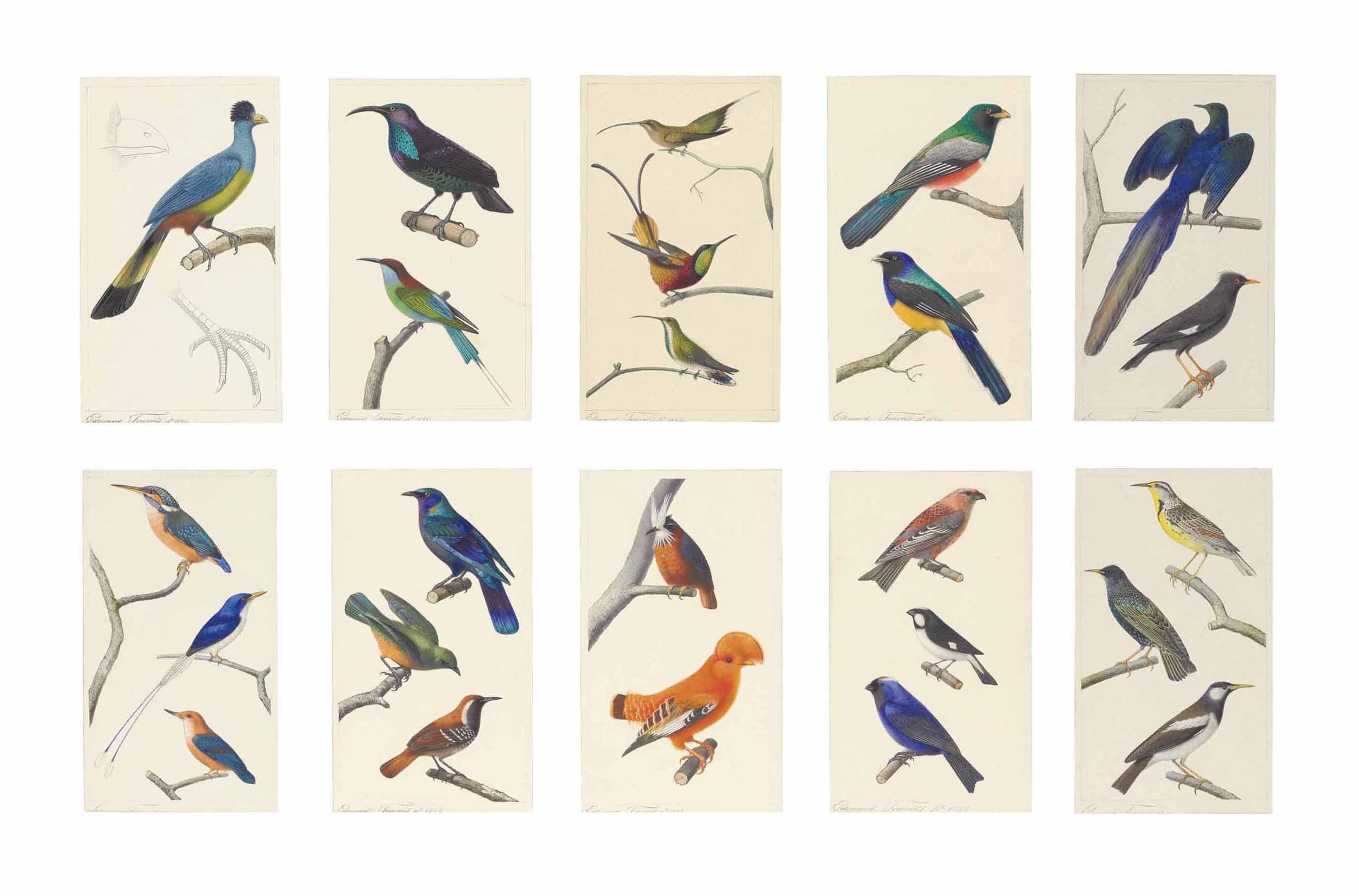 Studies of birds: Great blue tauraco; Paradise riflebird and Blue-throated bee eater; Long-tailed hummingbird, Crimson topaz hummingbird, and Green-throated mango hummingbird; Collared trogon and White-tailed trogon; Long-tailed glossy starling and Common mynah; Common kingfisher, Common paradise kingfisher, and Yellow-billed kingfisher; Purple glossy starling, Thrush, and Antwren; White plume antbird and Cock of the rock; Pine grosbeak, Lined seedeater, and Diademed tanager; and Eastern meadow lark, Starling, and Pied starling