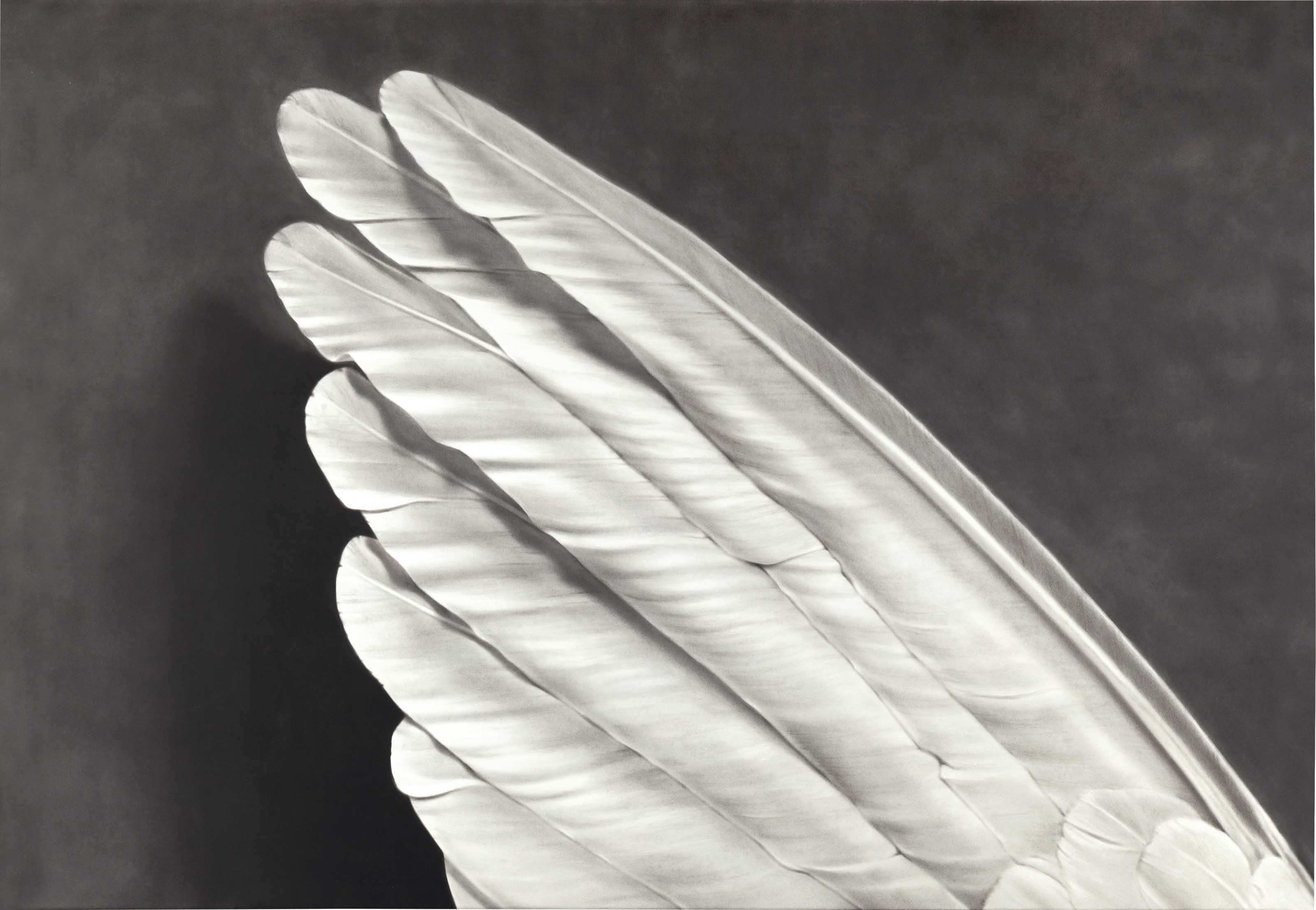 Untitled (Angels Wing)