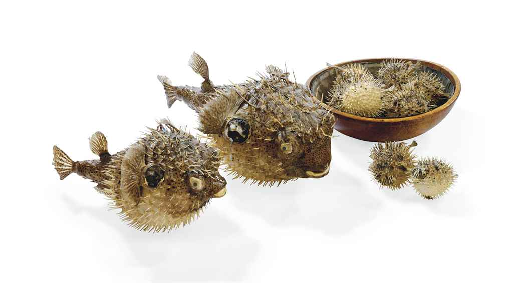 A group of eleven taxidermy puffer fish probably 20th for Puffer fish price