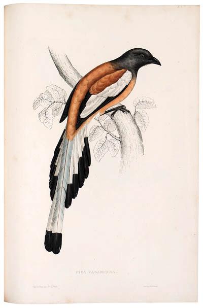 GOULD, John (1804-1881) & Nicholas Aylward VIGORS (1787-1840). A Century of Birds from the Himalaya Mountains. London: [for the Author, 1831]-1832.