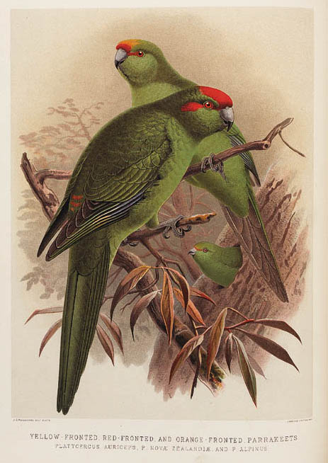 BULLER, Walter Lawry. A History of the Birds of New Zealand. London: by the author, [1887]-1888. 2 vols. 4o. 48 hand-finished color lithographed plates after and by J.G. Keulemans, 2 uncolored lithographed plates after J. Smit by E. Wilson, numerous woodcut illustrations in text (titles with perforated stamp, tiny ink stamp on first leaf of each vol. and on one text leaf in vol. I, short marginal tear to one plate). Contemporary red half-morocco, spines gilt, g.e. (some marginal wear). SECOND EDITION, limited to 1000 sets. Ayer/Zimmer 115; Copenhagen/Anker 85; McGill/Wood 269; Nissen IBV 163; Nissen SVB 83.  (2)