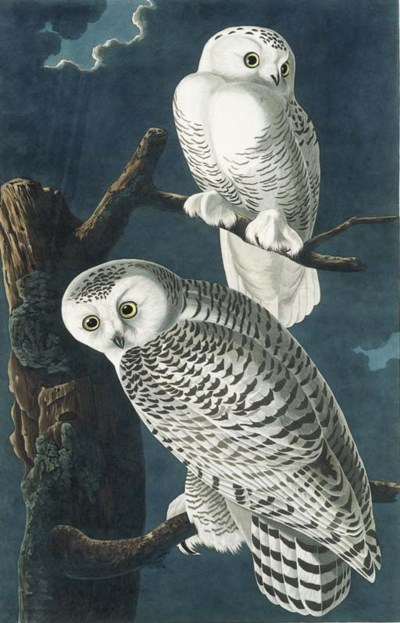 AUDUBON, John James. Snowy Owl