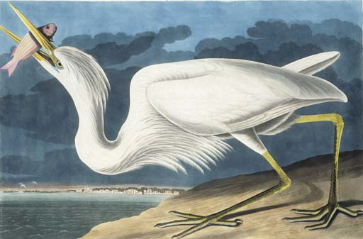 AUDUBON, John James. Great Whi