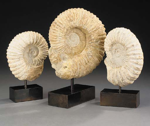 A collection of three ammonite