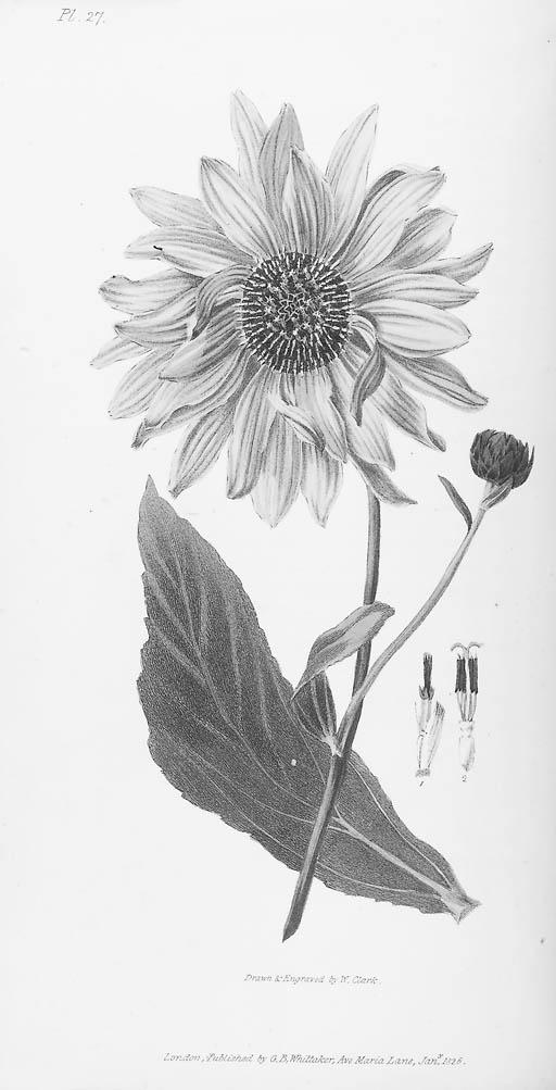 MORRIS, Richard.  Flora conspi