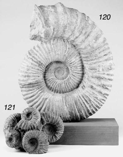 A marine cephalopod mollusc (a