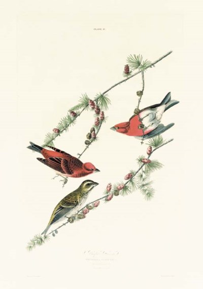 PURPLE FINCH (PLATE IV)