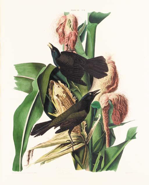 PURPLE GRACKLE (PLATE VII)