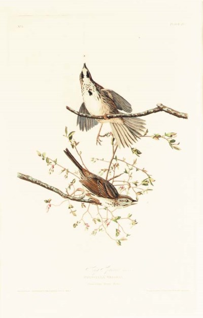 SONG SPARROW (PLATE 25)