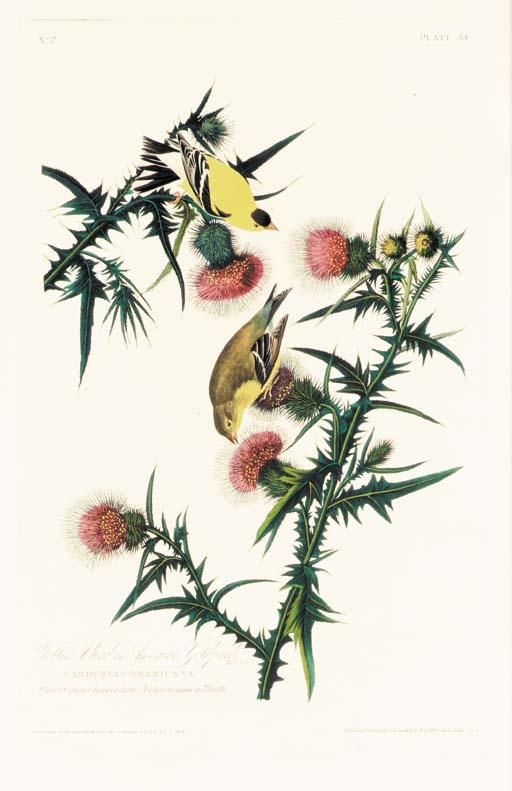 YELLOW BIRD OR AMERICAN GOLDFI
