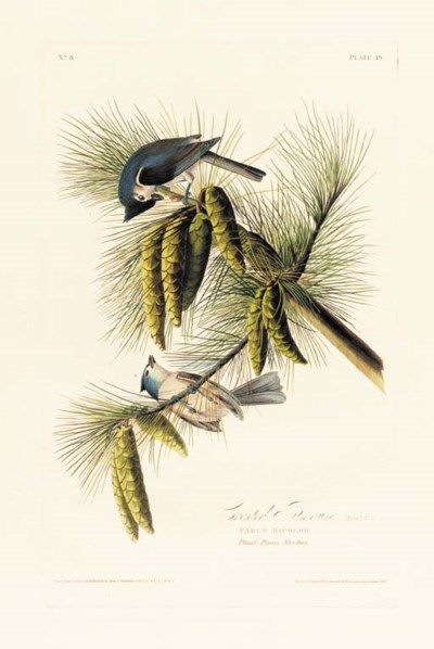 CRESTED TITMOUSE (PLATE 39)
