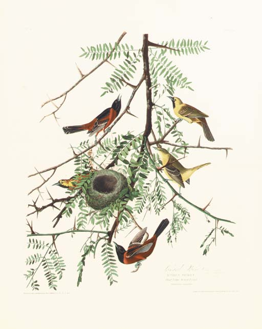 ORCHARD ORIOLE (PLATE 42)