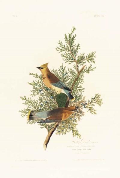 CEDAR BIRD (PLATE 43)