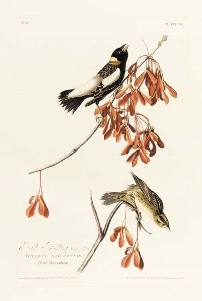 RICE BUNTING (PLATE 54)