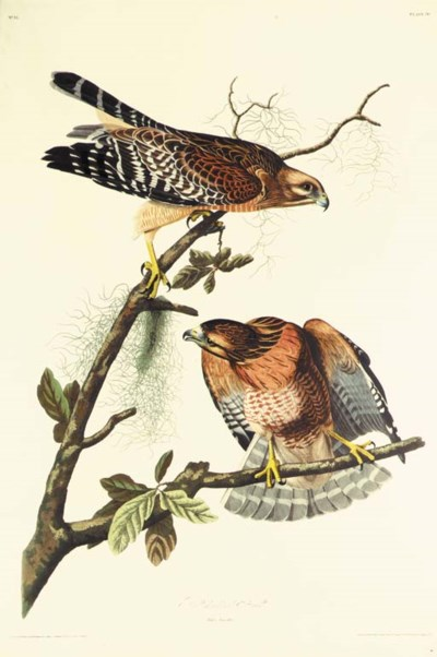 RED-SHOULDERED HAWK (PLATE 56)