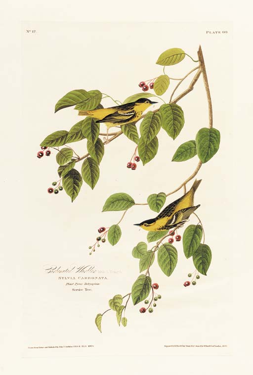 CARBONATED WARBLER (PLATE 60)