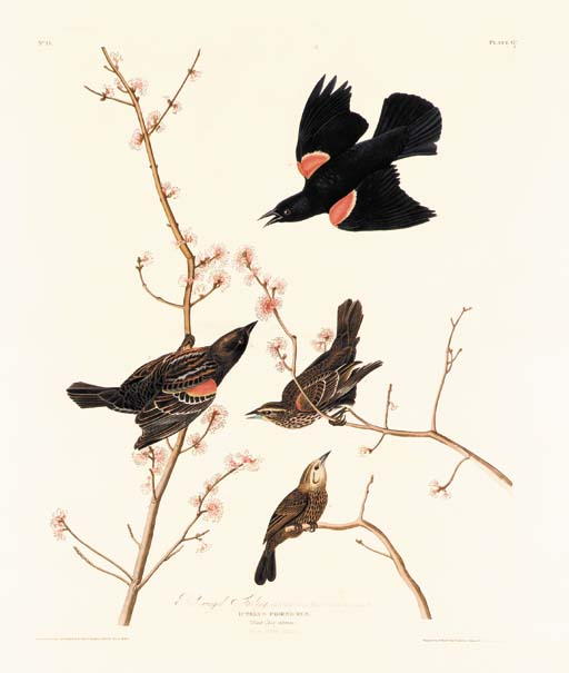RED-WINGED STARLING (PLATE 67)
