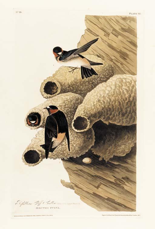 REPUBLICAN CLIFF SWALLOW (PLAT