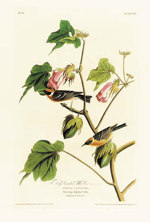 BAY BREASTED WARBLER (PLATE 69