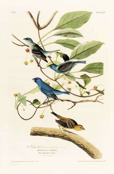 INDIGO-BIRD (PLATE 74)