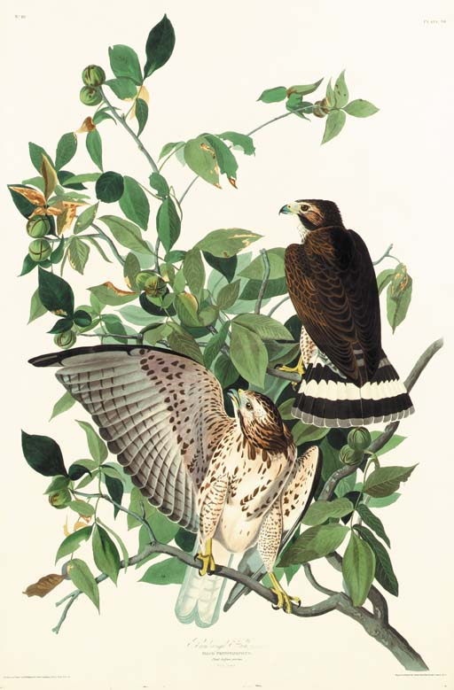 BROAD-WINGED HAWK (PLATE 91)