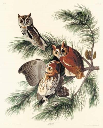 MOTTLED OWL (PLATE 97)